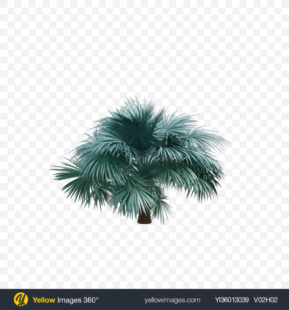 Download Silver Fan Palm Tree Transparent PNG on YELLOW Images
