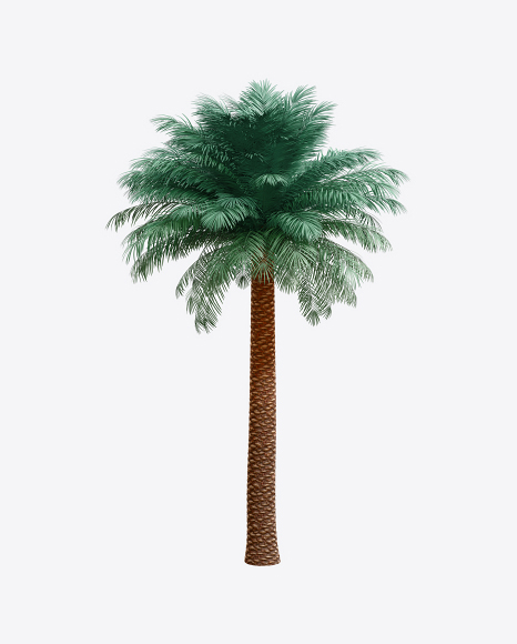 Silver Date Palm Tree