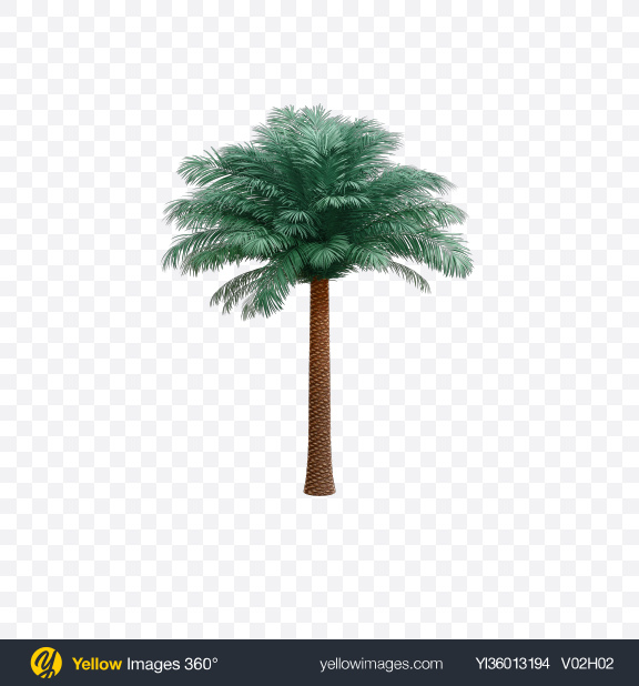 Download Silver Date Palm Tree Transparent PNG on YELLOW Images