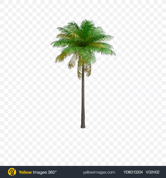 Download Palm Tree Transparent PNG on YELLOW Images