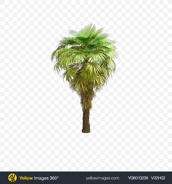 Download California Palm Tree Transparent PNG on YELLOW Images