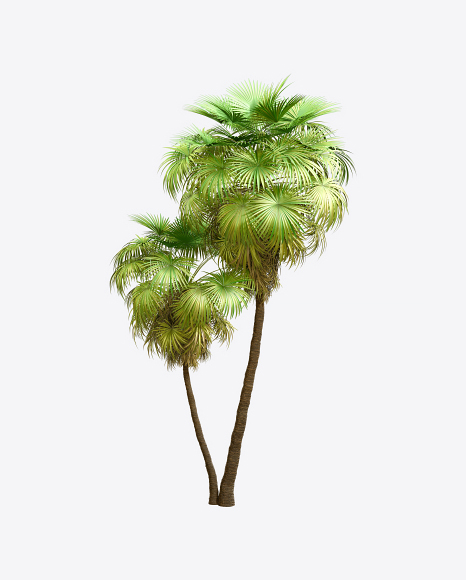 California Palm Tree